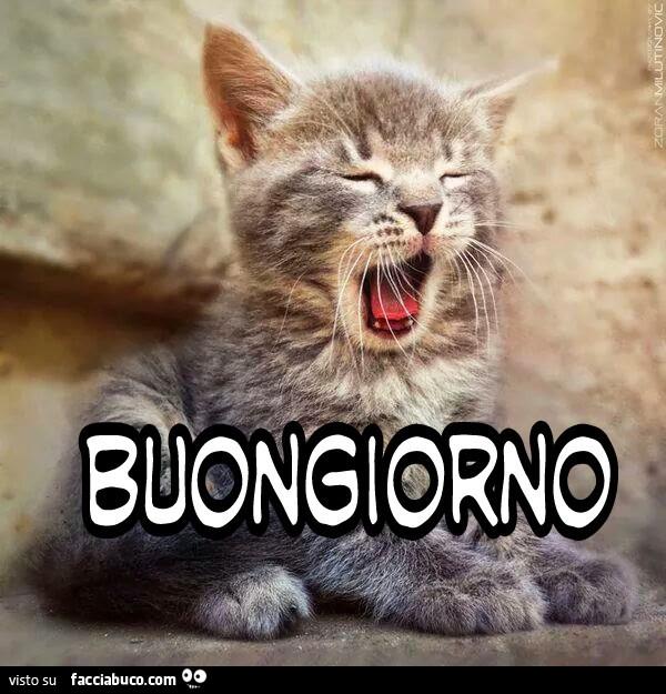 Gattino Sbadiglia Buongiorno Facciabuco Com
