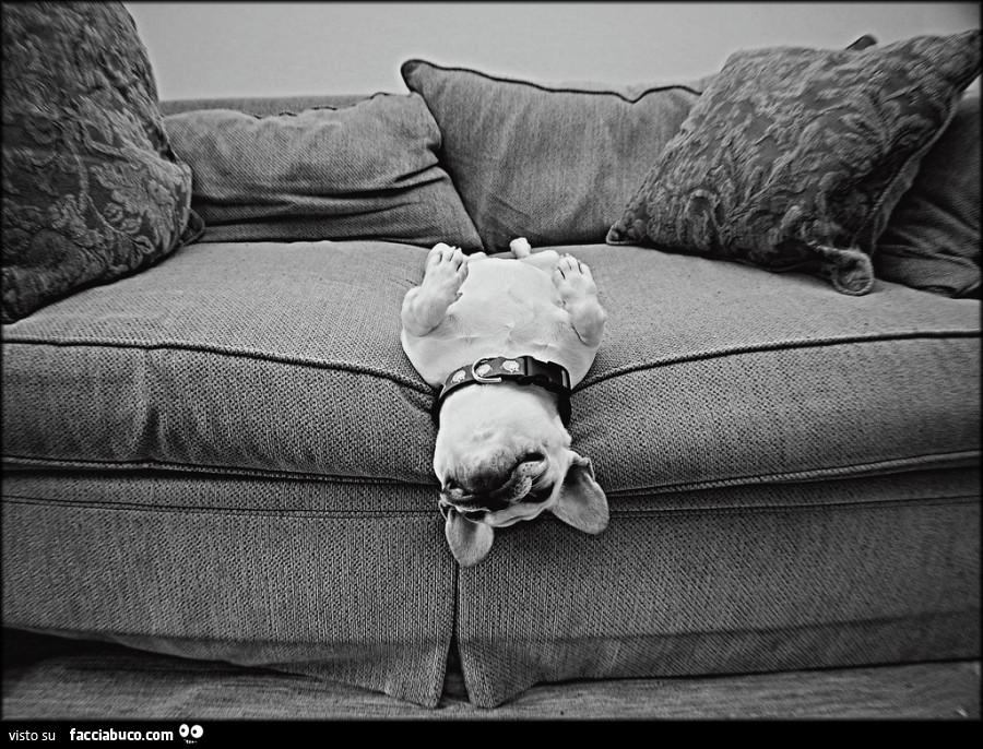 Cagnolino sdraiato a pancia in su sul divano - Dormire sul divano ...